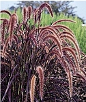 Purple Fountain Grass - Purple
